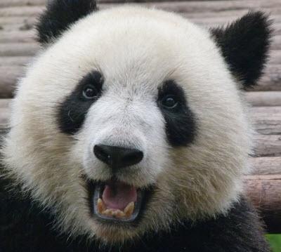 happy_panda